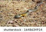 Common Keelback Is A Non Toxic...