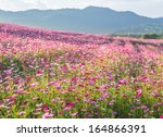 Pink Cosmos Flower Fields With...