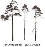 Silhouettes Of Three Tall Pine...