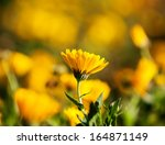 yellow daisy with romantic... | Shutterstock . vector #164871149