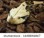Venomous gaboon viper closeup ...