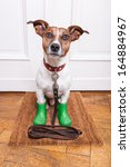 Stock photo dog with green rubber rain boots waiting to go walkies in the rain and cold weather 164884967