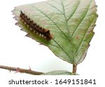 A close up drinker moth caterpillar isolated on a Bramble Leaf. Scientific name  Euthrix potatoria