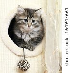 Stock photo siberian kitten at two months brown tabby version 164947661