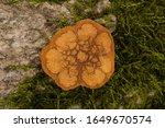 Banisteriopsis Caapi  Ayahuasc...
