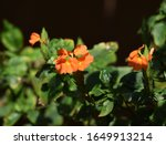 Orange  Crossandra...