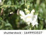 Bumblebee In Snapdragon Flower...