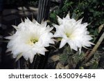 Two Large White Cactus Flowers...
