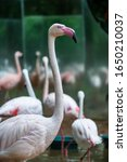 Greater flamingo, Phoenicopterus roseus, Bird Park, Foz do Iguacu, Brazil