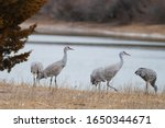 Sandhill Cranes Gathering Near...