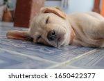 White Labrador Puppies Are...