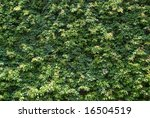 a green leaf background texture | Shutterstock . vector #16504519