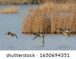 Mallard Ducks In Flight....
