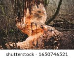 Small photo of Beaver trees. Tree trunks twinged and felled by European beaver. Trees damaged by protected animal.
