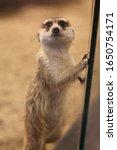 Funny suricat  mammal meerkat ...