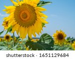 Blooming Sunflowers Field On...