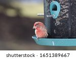 H. Mexicanus Male House Finch...
