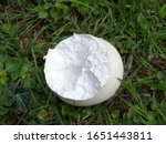 Giant Puffball With Feeding...