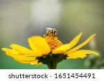Bee On A Flower. Close Up Of A...