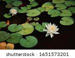 Two Flower Of White Water Lily...