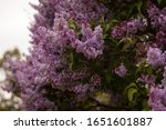 Beautiful Landscape With Lilac...