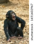 Young Chimpanzee  Pan...