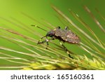 stinkbug larvae on green leaf... | Shutterstock . vector #165160361