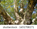 Imposing Plane Tree From The...