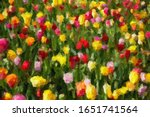 Colorful Tulips In Spring...