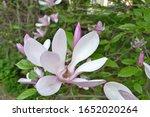 Magnolia 'george Henry Kern' ...
