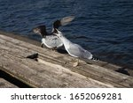 Seagull Screaming On Wooden...
