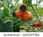 Blossum  End Rot Tomato ...