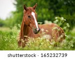 Portrait Of Red Horse On Field...