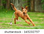 Stock photo irish terrier playing with ball 165232757