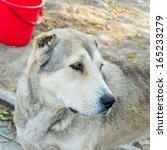 beautiful dog   Shutterstock . vector #165233279