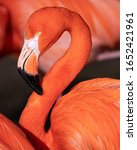 Red flamingo  phoenicopterus...