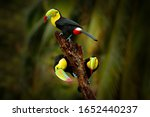 Three keel billed toucan ...