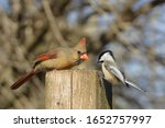 Northern Cardinal And Black...