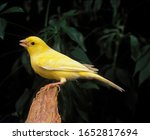 Malinois Canary Or Song Canary...