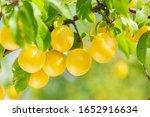 Plum Tree. Branch Of Ripening...