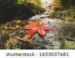 Red Japanese Maple Leaf On The...