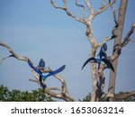Four Hyacinth Macaws  Blues...