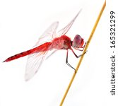 Red Dragonfly On White...