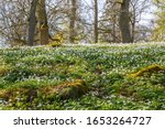 Flowering Wood Anemone In A...