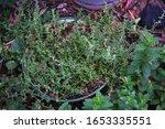 Thyme Growing In An Old Enamel...