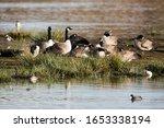 Canada Goose In Habitat. His...