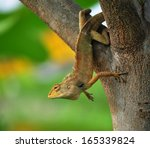 Brown Lizard Tree Lizard ...