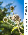 Globe Thistle Plant In The...