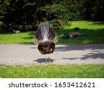 Indian Peafowl  Pavo Cristatus...