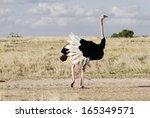 A Beautiful Male Ostrich
